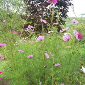 Cosmos in the Garden deter Deer