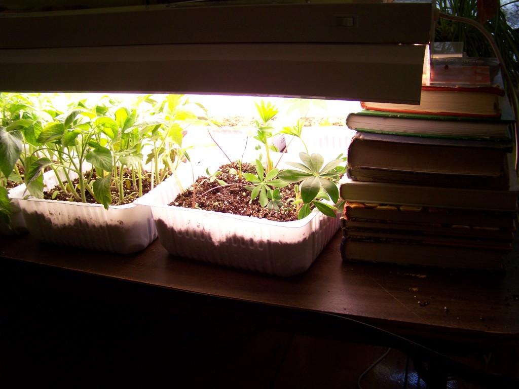 Lupines and tomatos enjoying the grow light