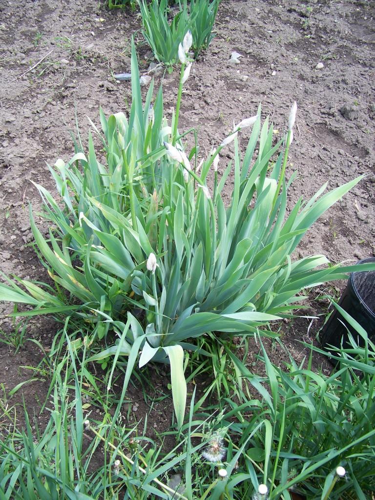 Iris begin to Bud
