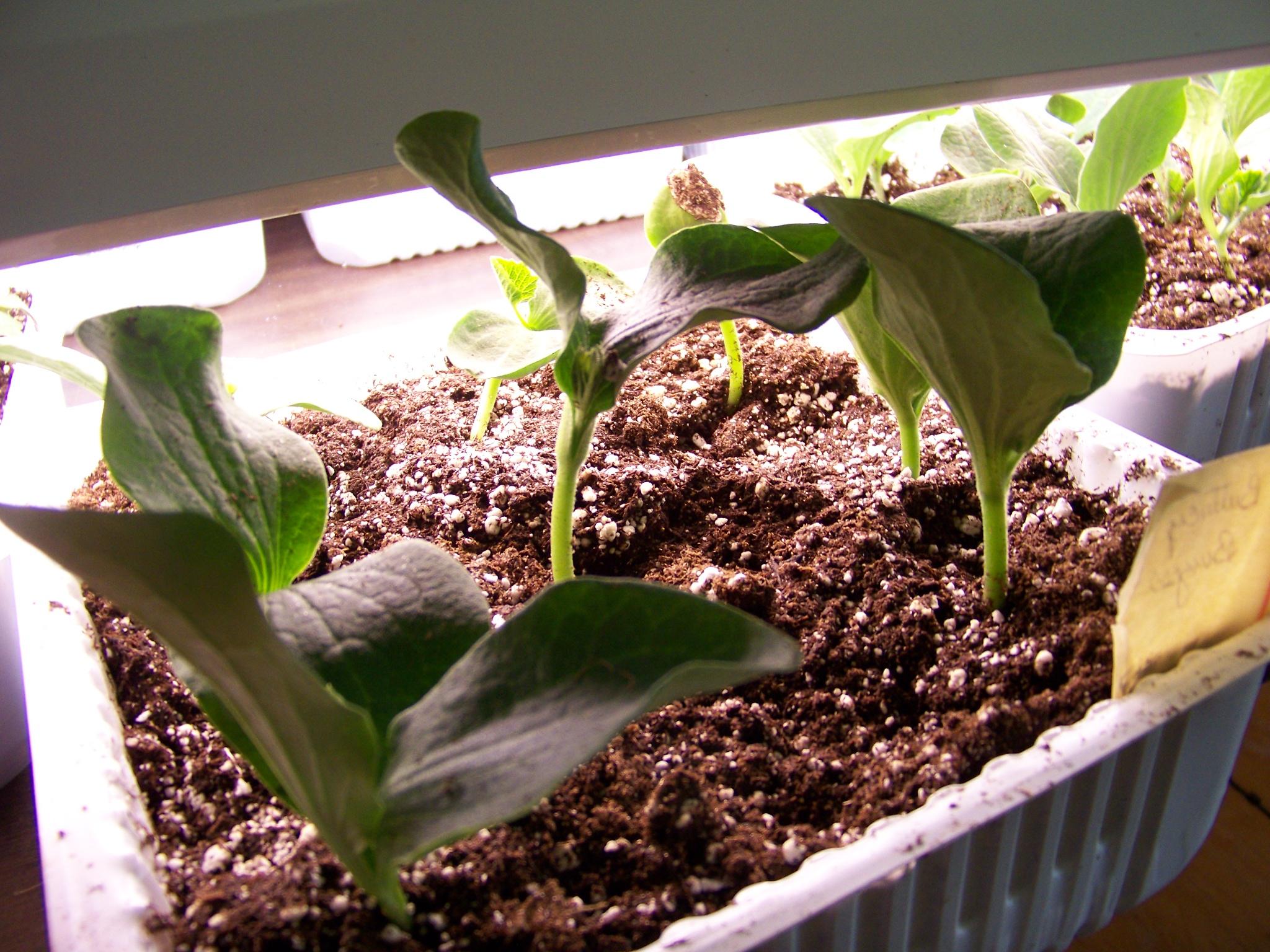 Gardening Series #7 Growth Rates of Seedlings