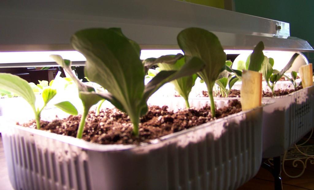 Squash Seedlings 2