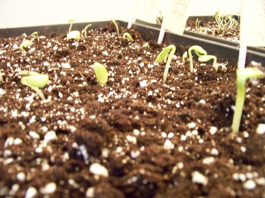 Squash seedlings peeking