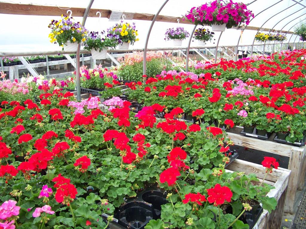 Sullivan Greenhouse Geraniums