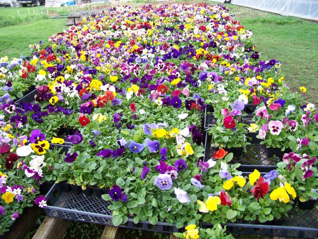 Sullivan Greenhouse Pansies