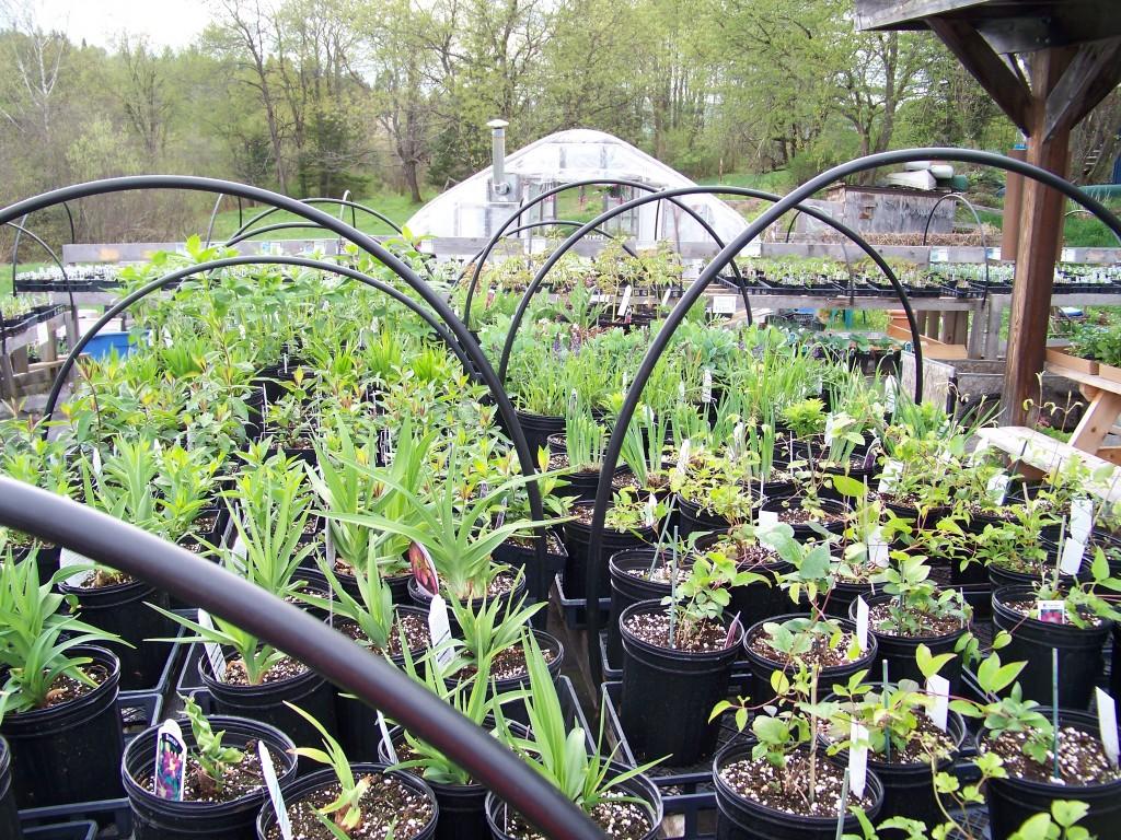 Sullivan Greenhouse, perennials yet to bloom