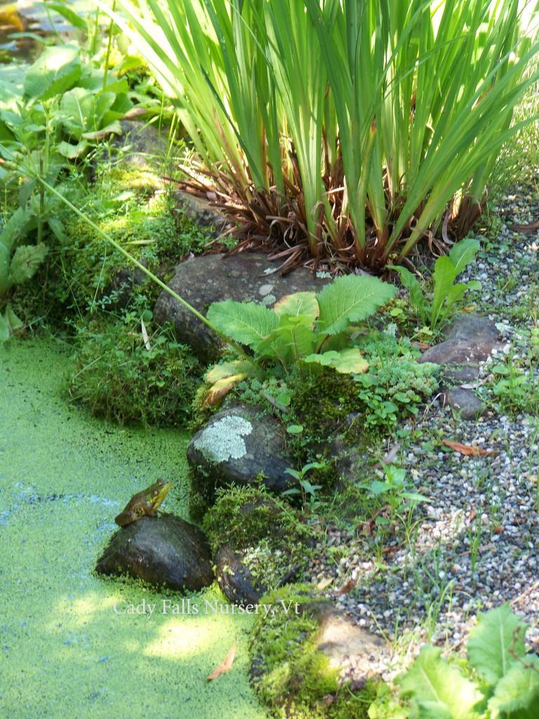 Cady Falls Nursey-Frog