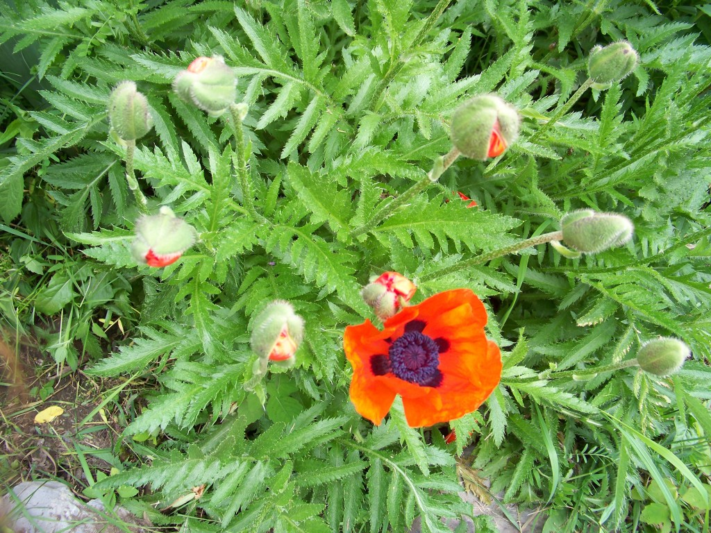 Poppies first bloom