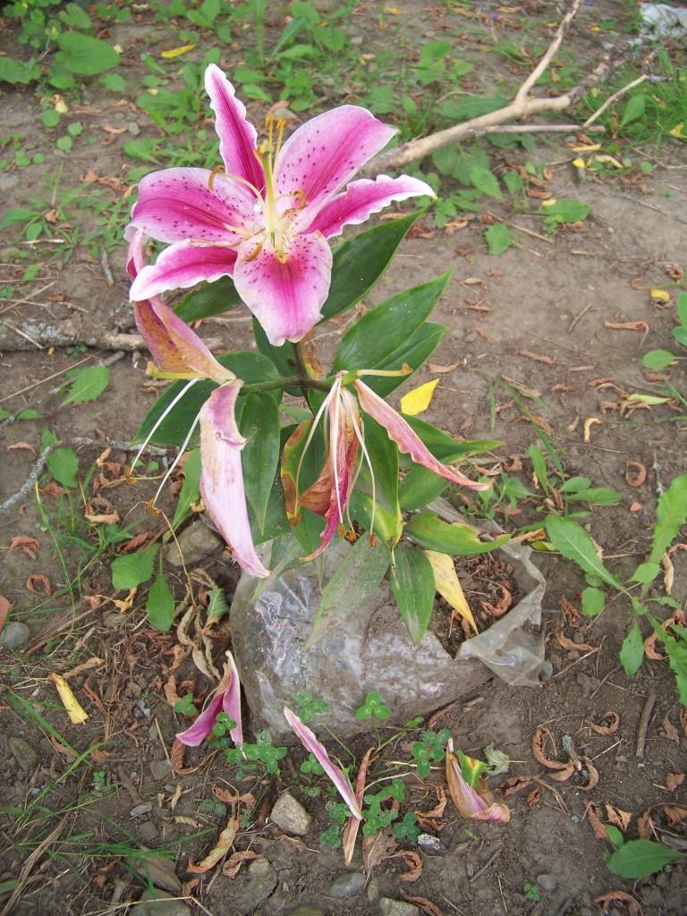 Pink Lily wont die
