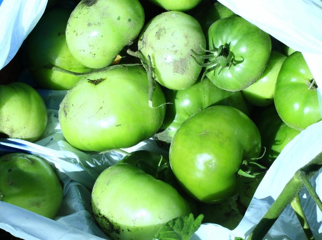Tomatoes green