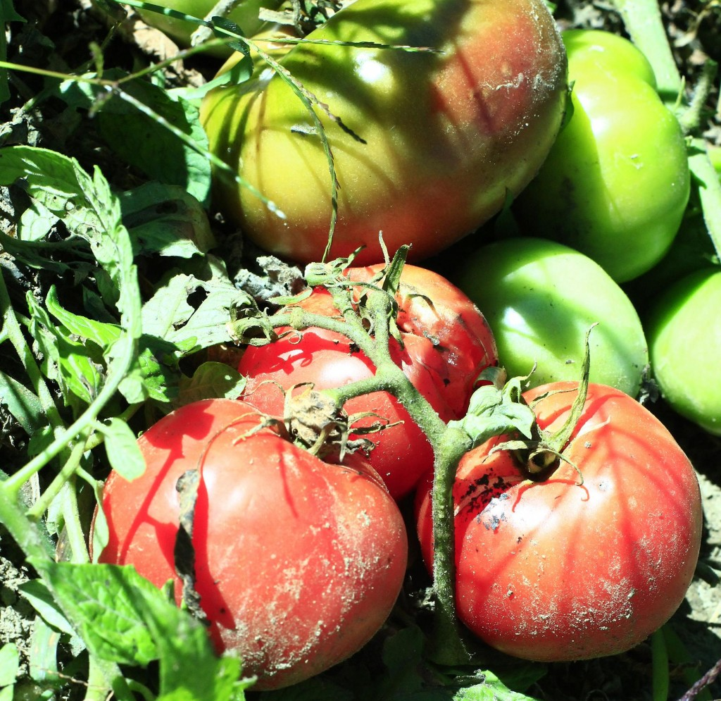 Tomatoes in many colors