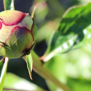 Peony Bud with ants marching